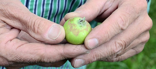 Májusi fagyok a lengyel almaültetvényeken