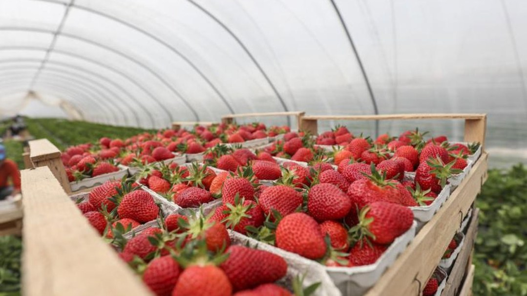 Foil vs field growing: More and more strawberries are grown in ...