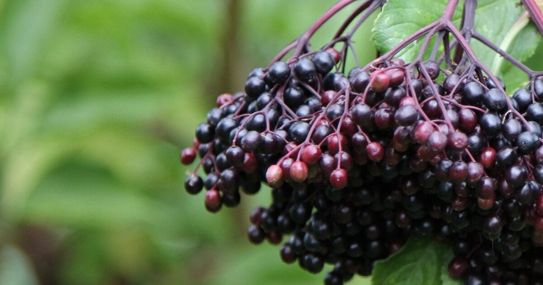 The Facts on Black Elderberry and COVID-19: Gaia Herbs®