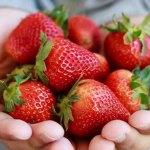 A friss és ízletes magyar földieper a legjobb választás
