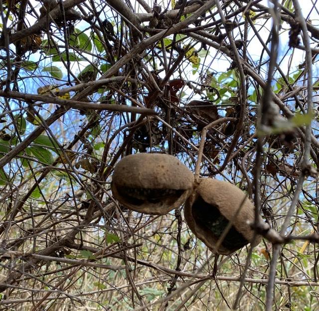 アケビ 幕山の植物