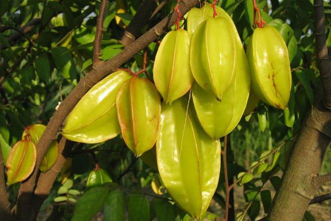 Carambol'lar meyve nasıl büyür?