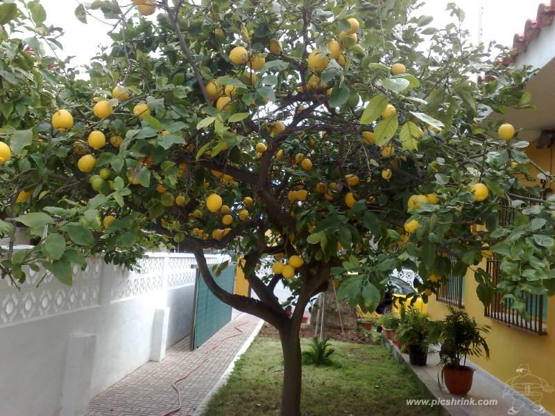 EL JARDN DEL IES SIERRA BLANCA El Limonero Citrus x