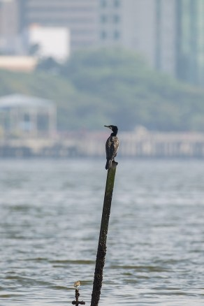 A size comparison picture of the Great Cormorant and a Common Sandpiper. In the background is Johor Bahru city.