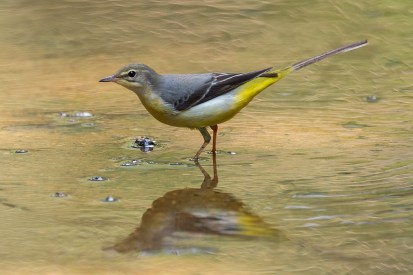 A side profile of the non-breeding plumage Grey Wagtail.