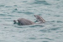 A pair coming out of the water momentarily. Taken on 23 September 2012.