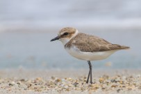 A different non-breeding Kentish Plover. The leg is darker, the plumage is more evenly coloured and darker, the bill is smaller and it has a more horizontal stance. Legs are dark.