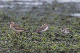 A record distant shot showing the anatomical as well as size difference between the Oriental and the abundant Lesser Sand Plovers.