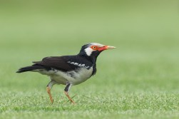 A Pied Myna feeding on the mowed lawn of the golf course together with a mixed flocks of mynas and wagtails.