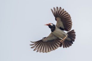 A flight to the nest with wings open.