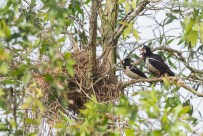 The nest of the Pied Myna being guarded by the pair.