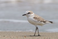 Swinhoe's Plover. The difference in posture, leg colour, bill size, head shape and plumage colour is evident.