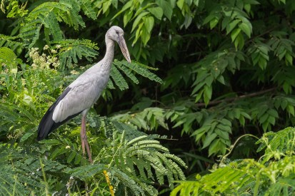 My first set of photos of the Asian Openbill at West Camp Road. One of them decided to take cover near a patch of trees.
