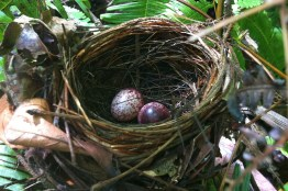 The two eggs of the Cream-vented Bulbul. I took two quick shots using my iPhone and the other one turned out blur.
