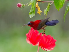 The male showing its attractive blue tail. The intensity of the reds in the Crimson Sunbird always make it a challenge to expose correctly. The added challenge in this picture was the reds of the hibiscus.