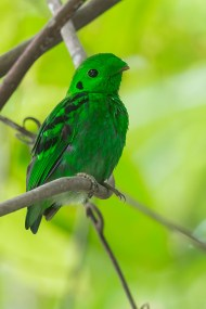Green Broadbill (Calyptomena viridis) at Kaeng Krachan National Park in Thailand. Extinct in Singapore. The subspecies in Thailand is not the same as the one occurring in Indonesia that Raffles obtained, but is included here just as a reference.