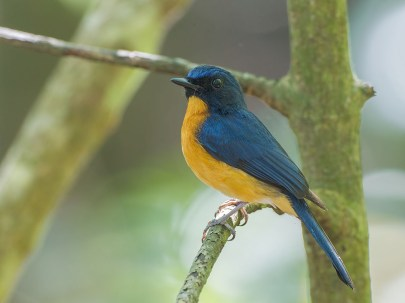 A male Mangrove Blue Flycatcher (Cyornis rufigastra) at Chek Jawa in 2011. A very rare resident in Singapore.