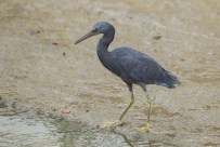 A Pacific Reef Heron at a canal in Telok Kurau. The bird was hunting in the canal for a few months, and will appear if the water level is right.