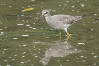 A Grey-tailed Tattler at SBWR in January 2014. It is in winter/non-breeding plumage without the underparts barring.