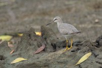 The Grey-tailed Tattler on a high ground after the hide is flooded.
