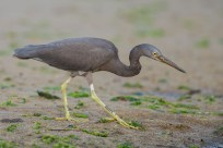 At the sandier part of the beach. The shortness of the feet is very apparent compared to other herons and egrets.