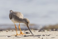 The upcurved bill being used to probe the sand for morsels of food.