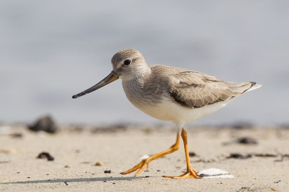 The Terek Sandpiper, showing its prominently short orange-legs and upcurved bill that is also orange at the base..