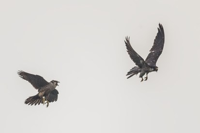 The juvenile is now getting back its balance for flight