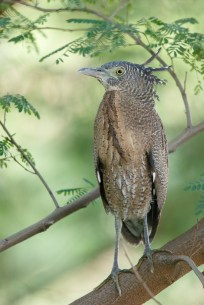 Malayan Night Heron