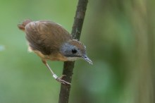 A Short-tailed Babbler at Treetop Walk trail. Ringed by NParks.