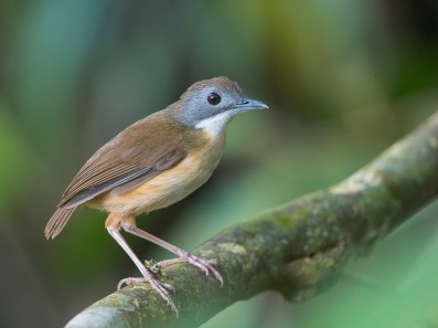 Another view. This babbler is often found below eye level. In this case, below knee level.
