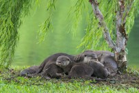 It was drizzling and slightly windy evening, with the weeping willow tree gently swaying to the breeze. Half sleeping otters cuddling. The backdrop of a pond reflecting the greenery nearby. What's there not to like?