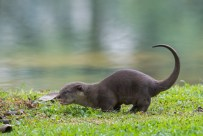 Whatever papa does, so can the little one. This picture is cropped a bit closer, so the baby otter is actually smaller.