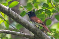 Amur Paradise Flycatcher at Bidadari