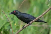 Asian Glossy Starling at Lorong Halus