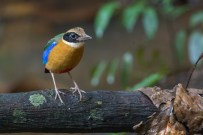Blue-winged Pitta at Macritchie Boardwalk