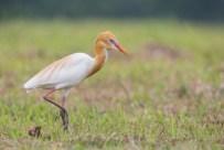 Prime reeding plumage, Lim Chu Kang