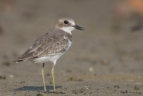 Greater Sand Plover at Seletar Dam