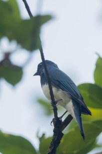 Male Zappey's Flycatcher at Bidadari