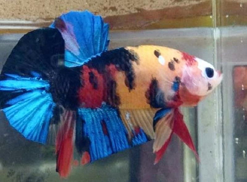 Inilah Deretan Ikan Cupang Termahal Yang Bikin Kamu Syok
