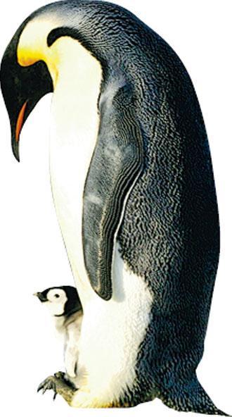 皇帝企鵝世紀末走向滅絕 - 20191112 - 國際 - 每日明報 - 明報新聞網