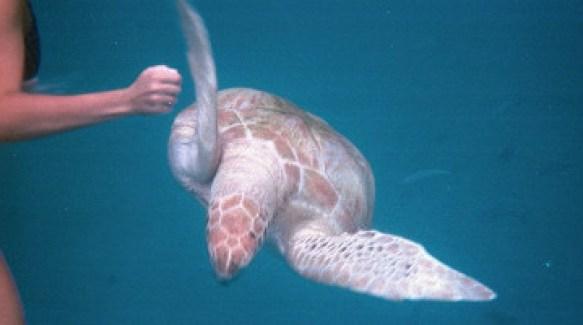 Представительница подводного мира. Барбадос.
