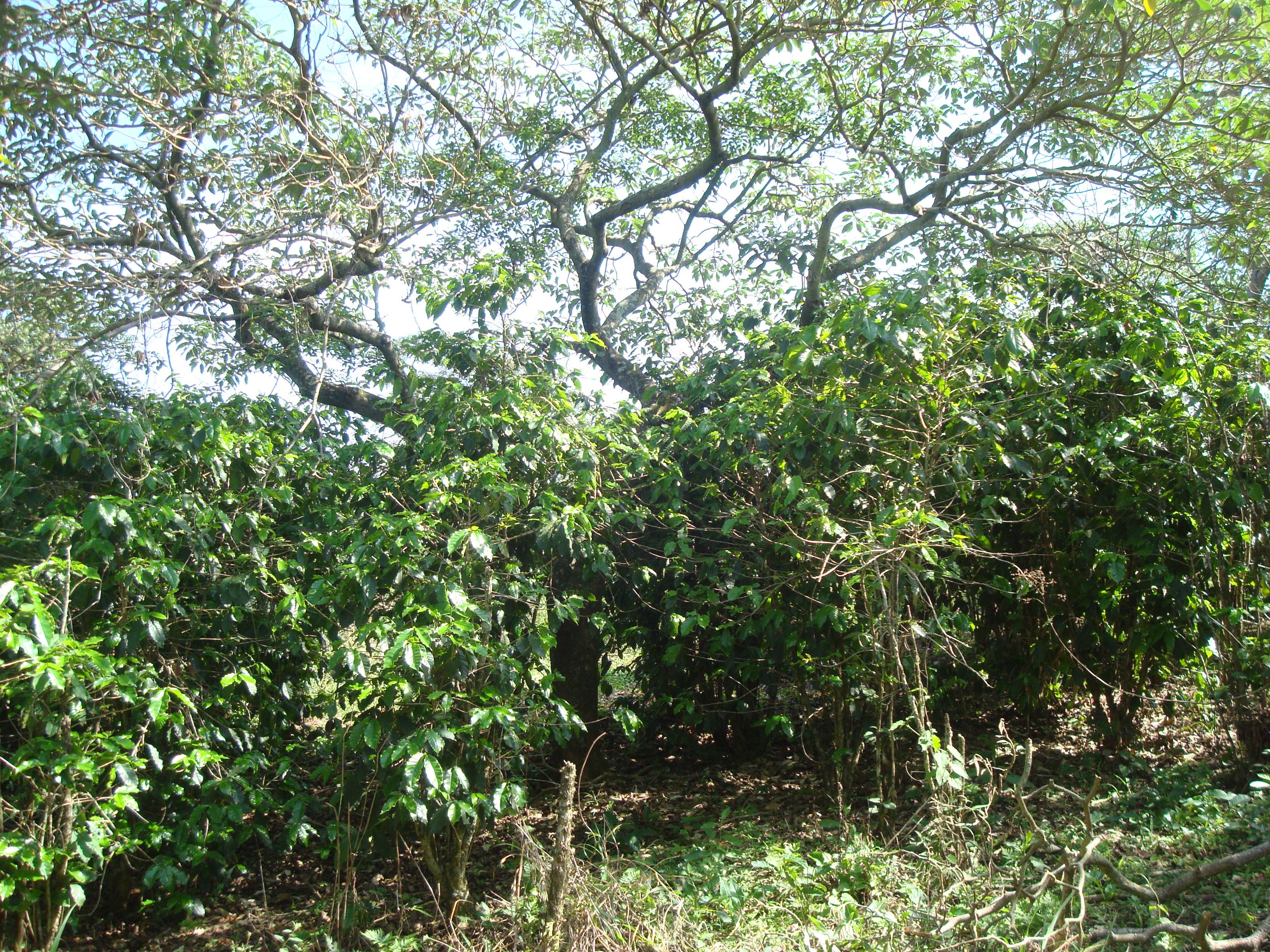 Agrofloresta  Fazenda Santo Antonio da Agua Limpa