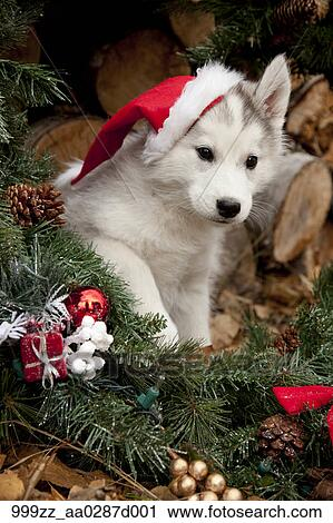 Fall Country Wallpaper Stock Photography Of Siberian Husky Puppy Wearing A Santa