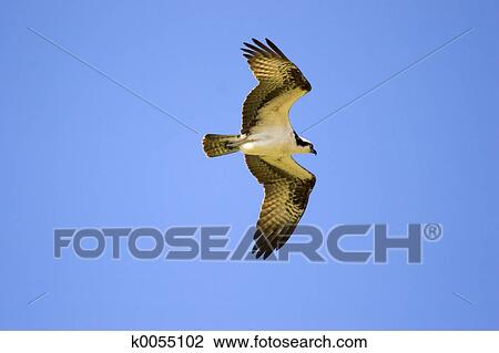 Stock Photo of Osprey k0055102 Search Stock Photography