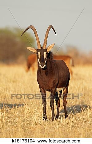 Sable antelope Picture | k18176104 | Fotosearch