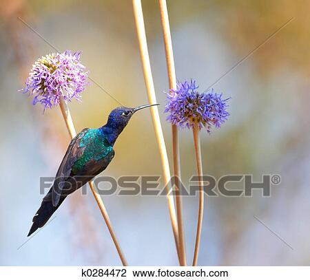 stock of hummingbird feeding