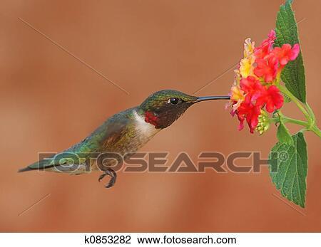 stock of lantana and hummingbird