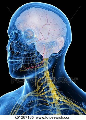 The Lingual Nerve Stock Illustration | k51267165 | Fotosearch