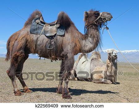 Stock Fotograf  bactrian kamel gesattelt fr reiten k22569409  Suche Stock Fotografie